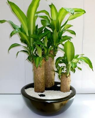 El palo de brasil blog y noticias for Plantas para interiores segun el feng shui