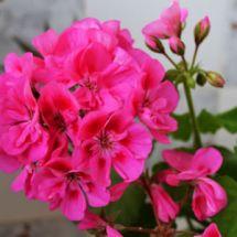 Consejos para que las flores de los geranios duren más